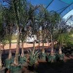 10002 Cocos Palm 100L
