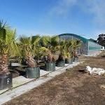 10005 Washington palm 300L