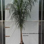 10009 Cocos palm 300mm pot