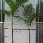 10010 Bangalow Palm 300mm pot