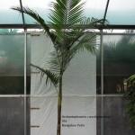 10011 bangalow Palm 45L