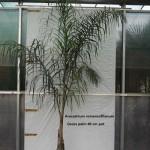 10012 Cocos palm 40 cm pot