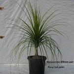 10017 Pony tail palm 300mm pot