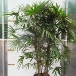 10020 Raphis palm 50cm pot large