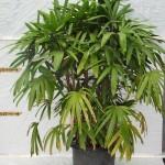 10021 Raphis palm 40cm pot