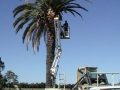 palm-tower-trimming-tree