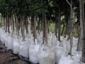 stenocarpusexport-promo