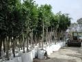 stenocarpusexport1promo